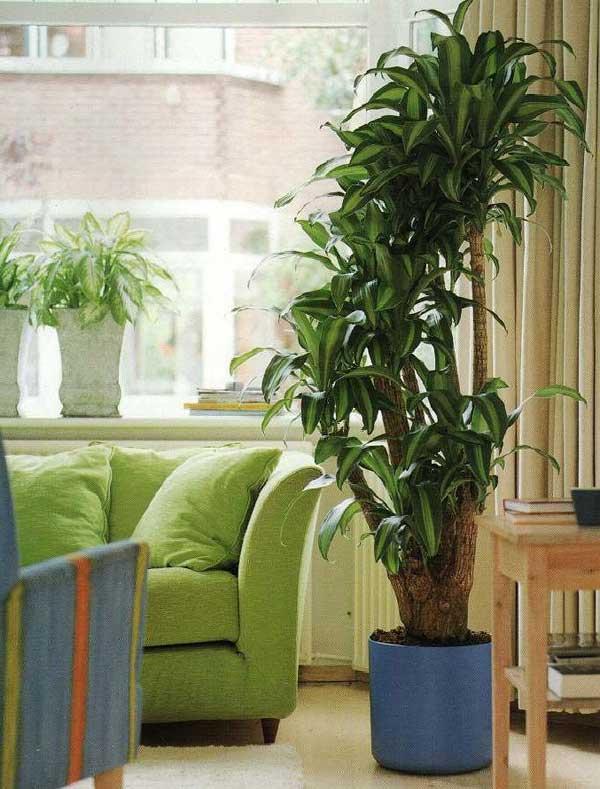 Озеленение интерьера, растение-акцент