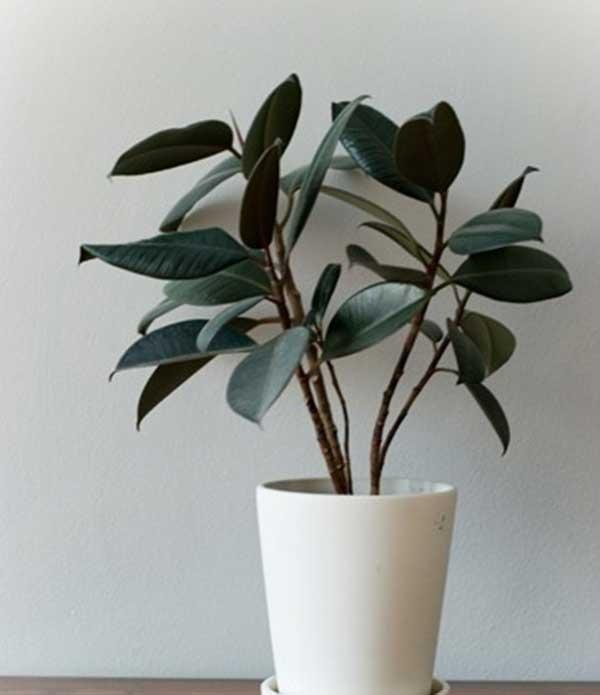 Гуттаперчевое растение
